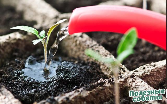 После применения этого раствора рассада зацветёт быстрее, а плоды будут крупнее.