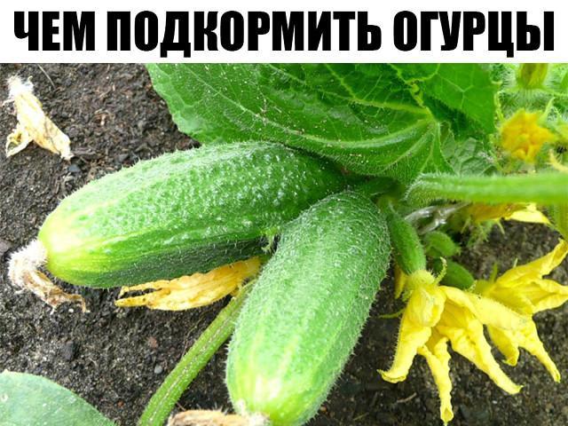 Чем подкормить огурцы во время плодоношения?