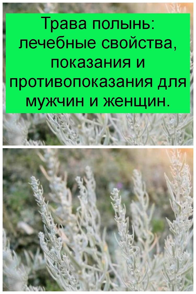 Трава полынь: лечебные свойства, показания и противопоказания для мужчин и женщин 4